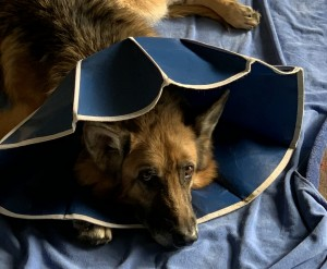 Our dog, Bear, is recuperating from her surgery last week.